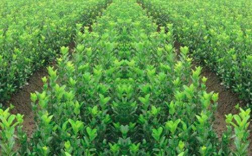 农药施用期间,如何保证苗木正常生长?